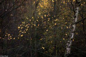 Berk met de laatste herfstbladeren in tegenlicht. - Fotograaf: Ron Poot