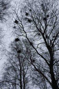 Wintersilhouetten met heksenbezems. De uitbundige takgroei wordt veroorzaakt door een schimmel.  - Fotograaf: Ron Poot