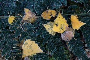 Berkenbladeren contrasteren mooi met een bevroren varenblad. - Fotograaf: Ron Poot