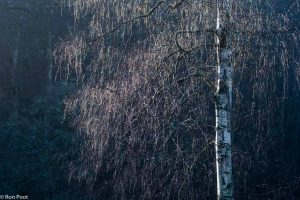 De kale berkentakken geven bij tegenlicht een sprookjesachtige sfeer. - Fotograaf: Ron Poot