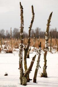 Verdronken berken in een winters Fochtelooërveen. - Fotograaf: Jaap Schelvis