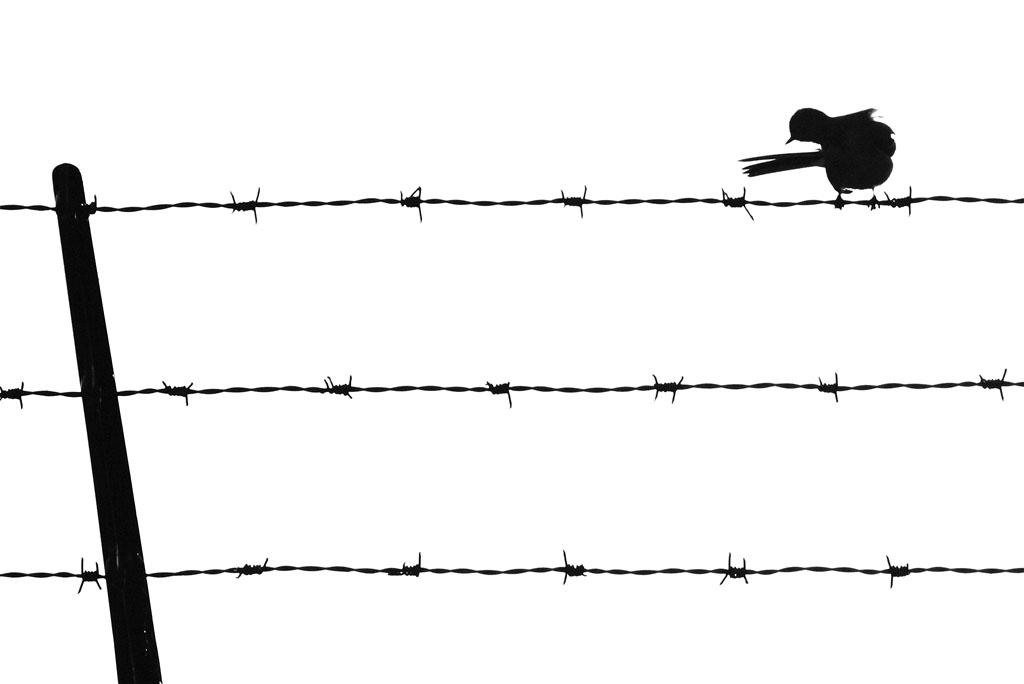 Vogel op prikkeldraad silhouet