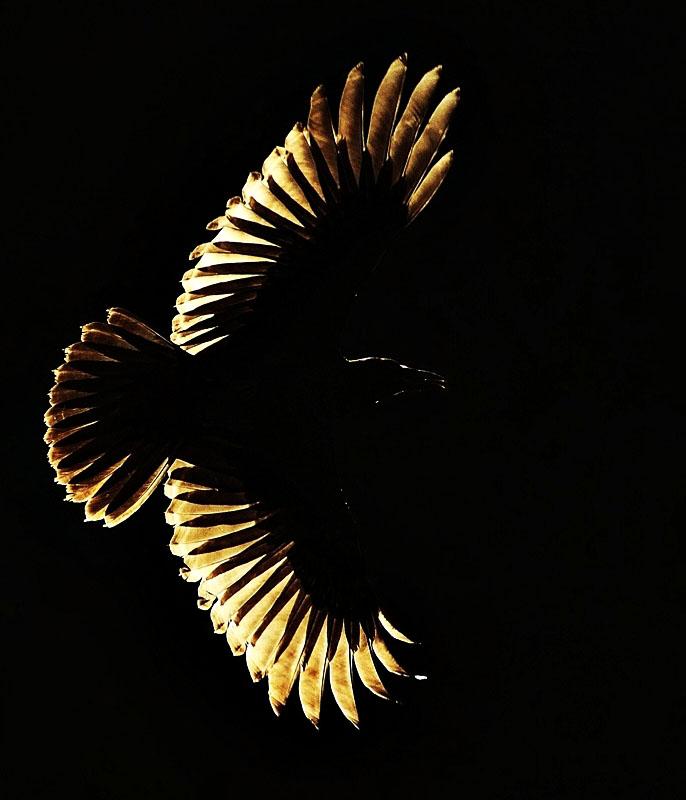 Vogel met gespreide vleugels in tegenlicht.