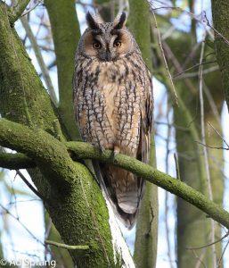 Je moet geluk hebben om een ransuil in een boom mooi vrij zittend tegen te komen.  - Fotograaf: Ad Sprang