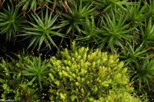 Een aardige combinatie van meerdere mossen bij elkaar. - Fotograaf: Ron Poot