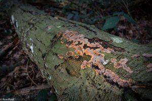 Op dood hout groeien vaak kleurrijke zwammen zoals de oranje aderzwam. - Fotograaf: Ron Poot