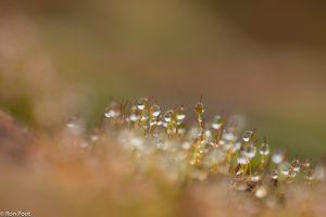 Massale groei van sporenkapsels versierd met ochtenddauw.  - Fotograaf: Ron Poot