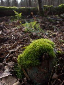 Zo groeit knopjesmos in zijn natuurlijke omgeving, op een dode stronk.  - Fotograaf: Ron Poot