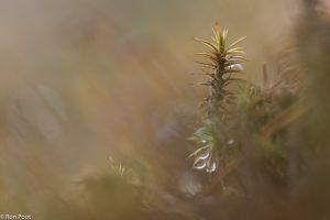 Een haarmos plantje. Die paar kleine druppels geven net dat leuke accent.  - Fotograaf: Ron Poot