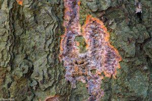 In combinatie met de groene algen op de stam geeft de oranje aderzwam een kleurig en abstract beeld. - Fotograaf: Ron Poot