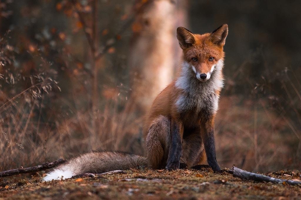 Jonge vos die binnenkort zijn eerste winter zal gaan meemaken.