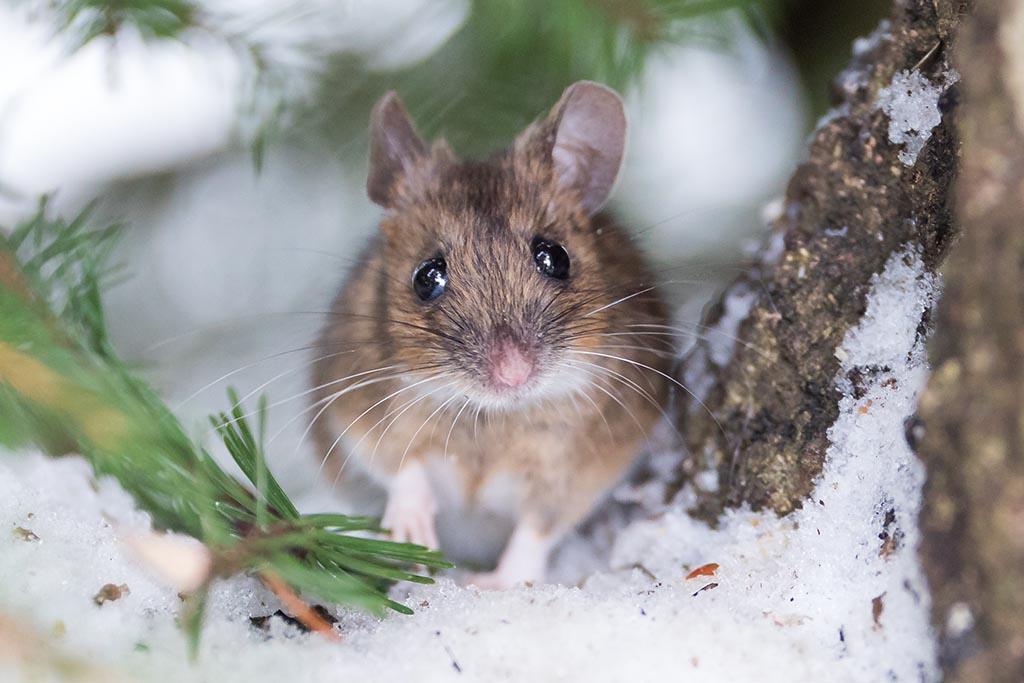 Vriendelijke grote bosmuis, die ik Bilbo genoemd heb, voor zijn winterverblijf.