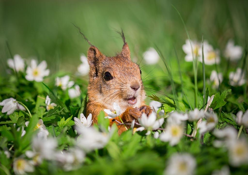Eekhoorn, springend in een bos witte bloemen, op zoek naar wat voedsel.