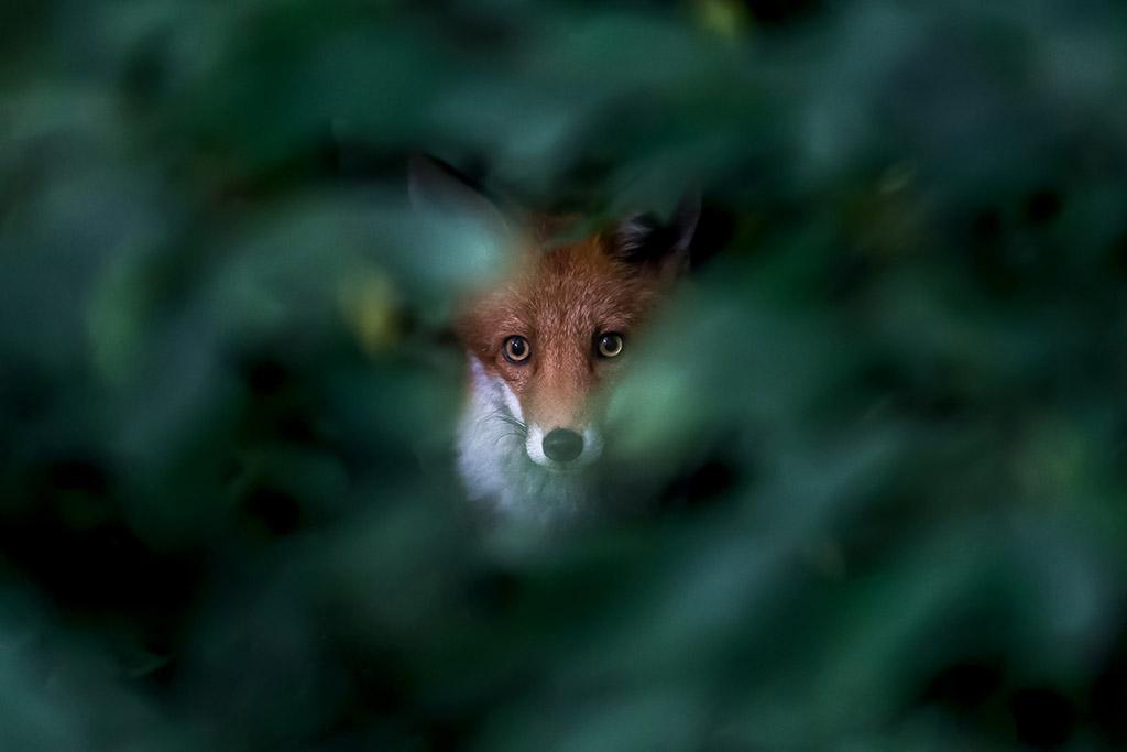 Jonge vos, starend , diep vanuit de dicht bosjes.
