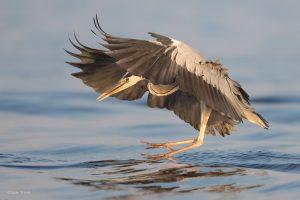De landing is een goed moment om een foto van een vliegende reiger te nemen.  - Fotograaf: Arjan Troost