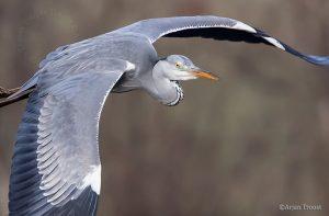 Van een wat hoger standpunt kun je mooi op de grijsblauwe vleugels kijken. - Fotograaf: Arjan Troost