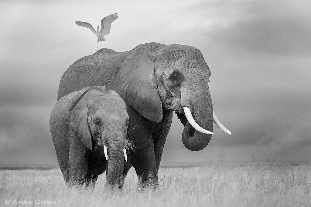 olifanteb