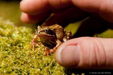 kikker; frog