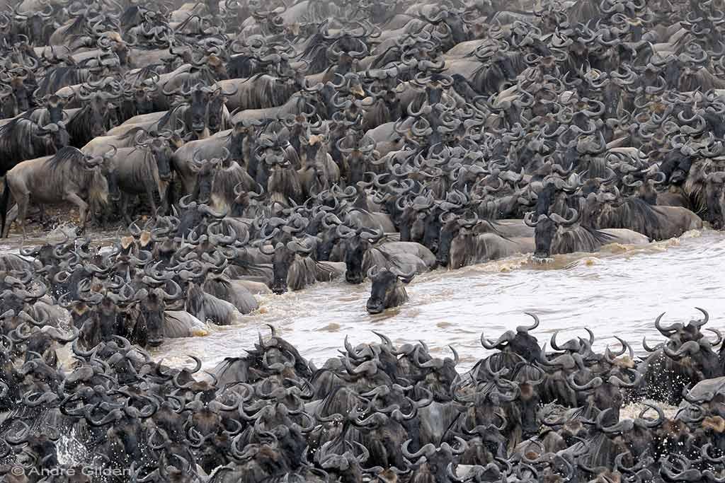 Mara oversteek wildebeesten