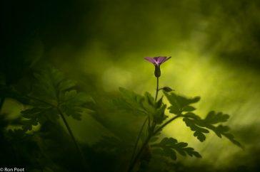 Geranium robertianum; Robertskruid