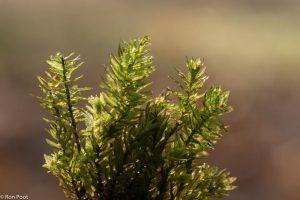 Het uiterlijk van (oude) mosplanten. Je ziet de nerven en de getande bladranden.  - Fotograaf: Ron Poot