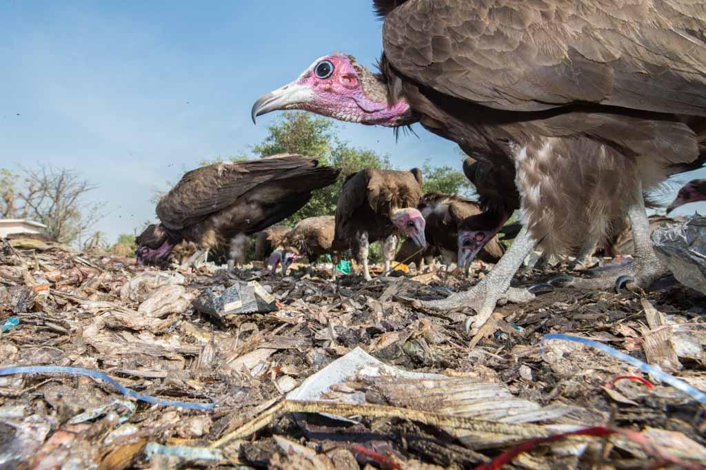 Gieren op afvalplaats in Senegal.