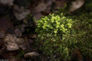 In het vroege voorjaar geven de jonge mosplantjes een frisse aanblik op de bosbodem. - Fotograaf: Ron Poot