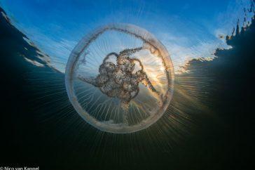 Oorkwal; moon jellyfish; Aurelia aurita;