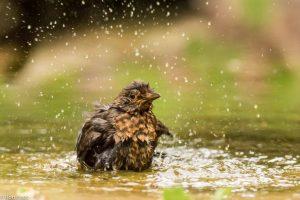 Een vijver of ondiepe waterpoel staat garant voor spetterende badfoto's. - Fotograaf: Ron Poot