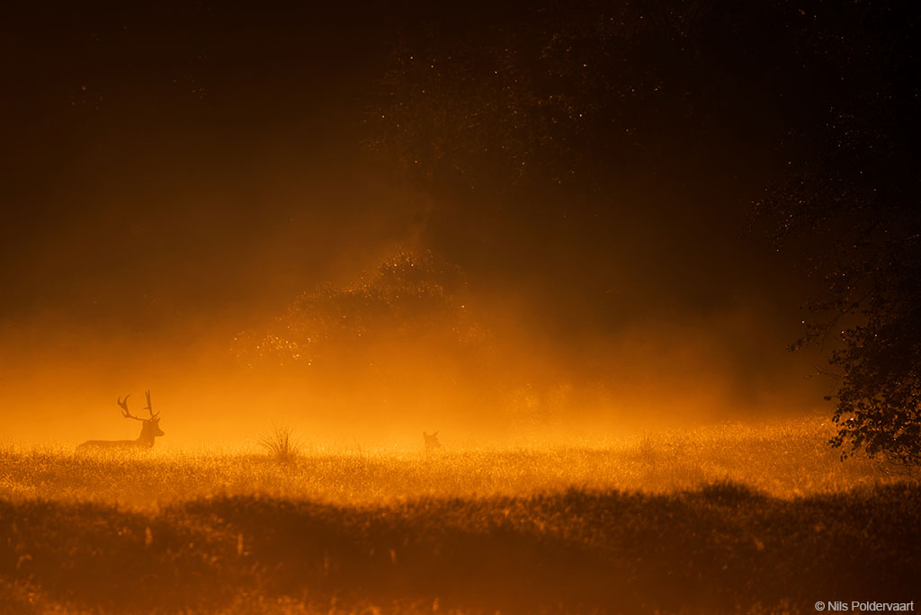 Hert met zonsopkomst en mist