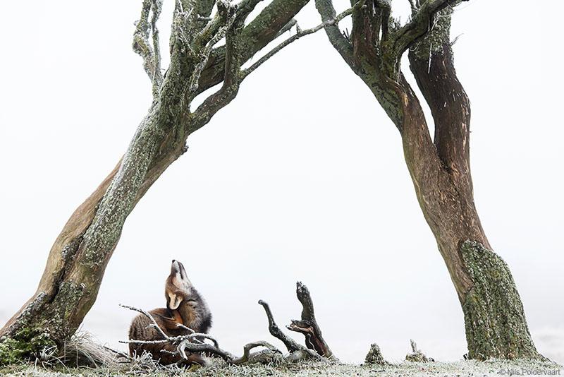 Vos - Winnaar Groene Camera 2018
