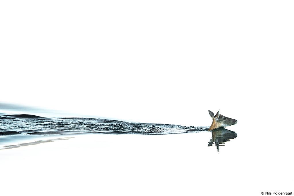 Zwemmend hert