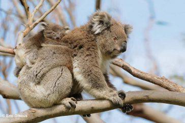 Koala met jong