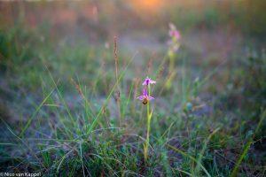 Bijenorchissen bij zonsondergang. - Fotograaf: Nico van Kappel