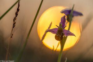 Bijenorchis bij zonsondergang. - Fotograaf: Nico van Kappel