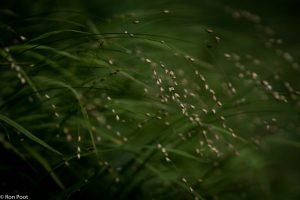 In het donkere loofbos lichten de glanzende bloei-aartjes van het parelgras mooi op.  - Fotograaf: Ron Poot
