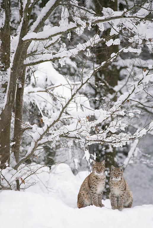 Lynxen in de sneeuw