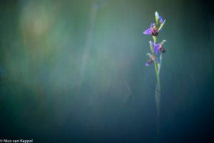 Bijenorchis met 400 mm lens. - Fotograaf: Nico van Kappel