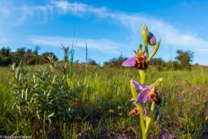 Bijenorchis met groothoeklens in Duingrasland. - Fotograaf: Nico van Kappel