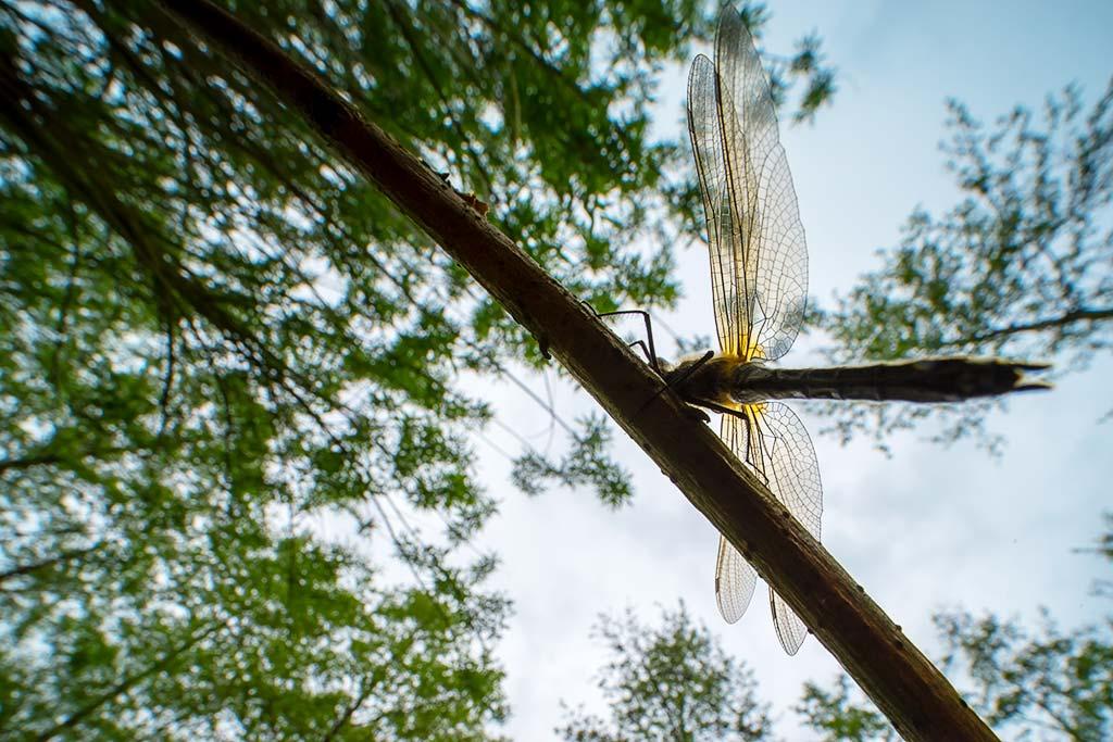 Smaragdlibel van onderen met groothoeklens