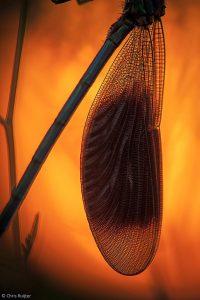 In de vroegte zitten de libellen nog stil en laten ze zich goed benaderen voor een detailfoto. - Fotograaf: Chris Ruijter