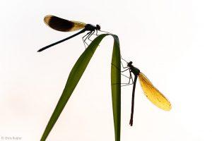 Met tegenlicht komen de contouren van de libellen goed naar voren. - Fotograaf: Chris Ruijter