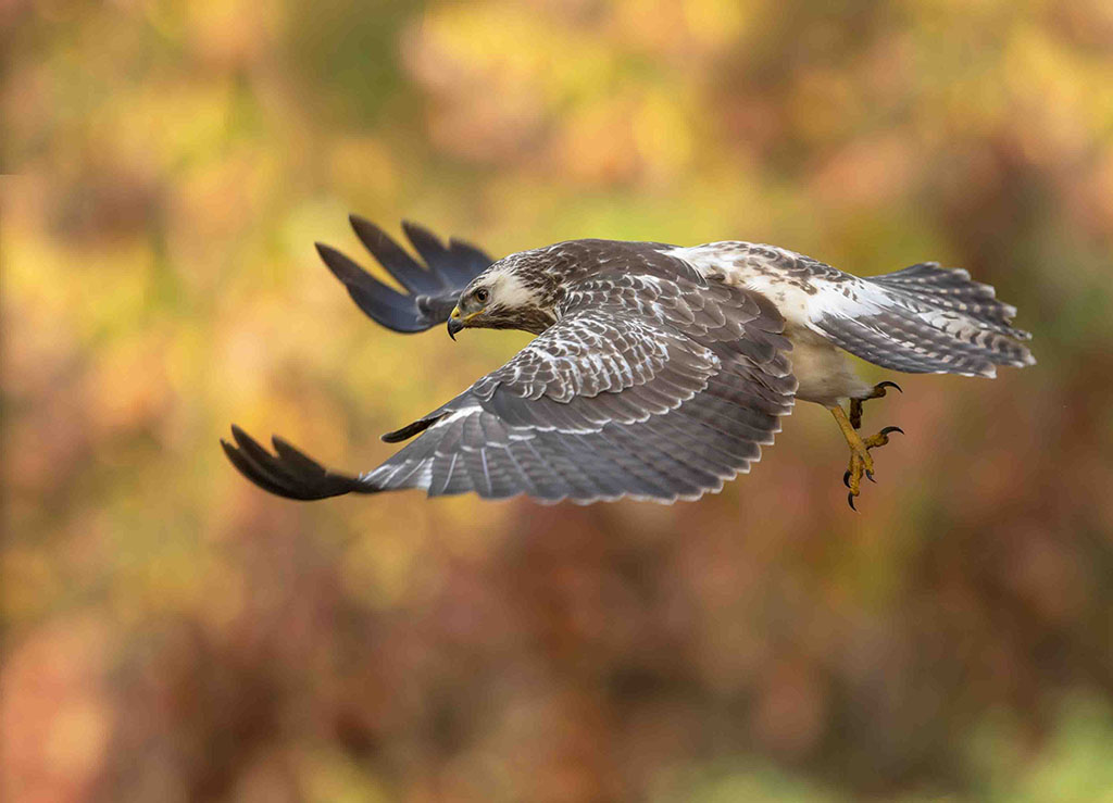 Vliegende buizerd