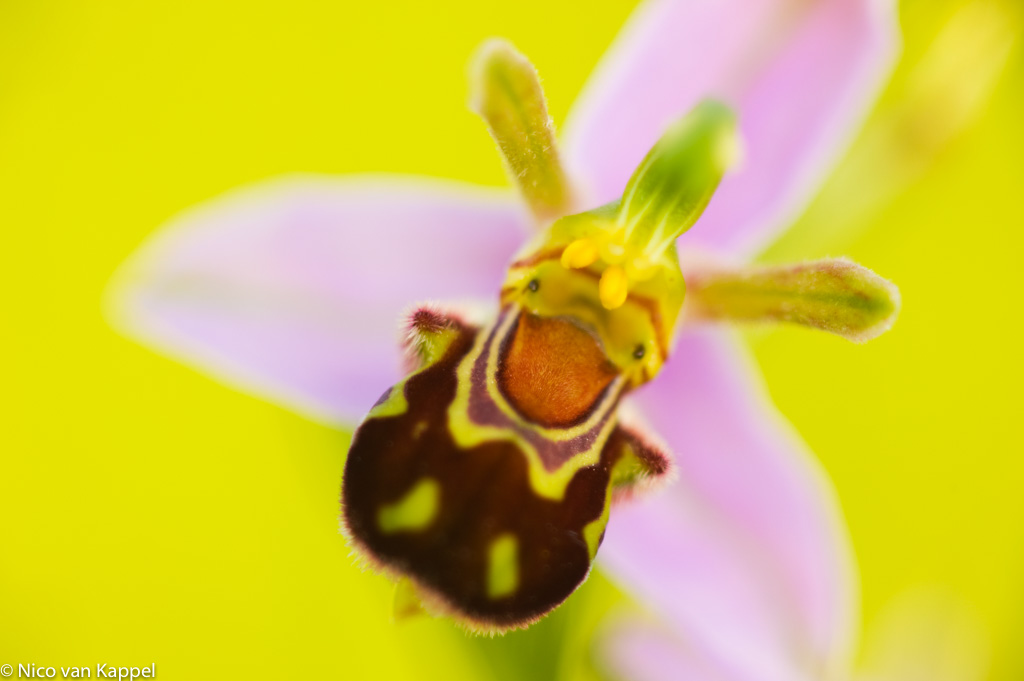Bijenorchis: een van de mooiste orchideeën van het land