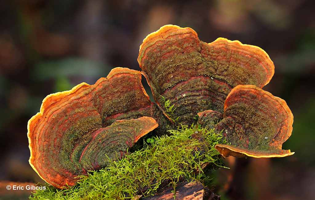Oranje beugelschimmel (orange coloured bracket fungi)