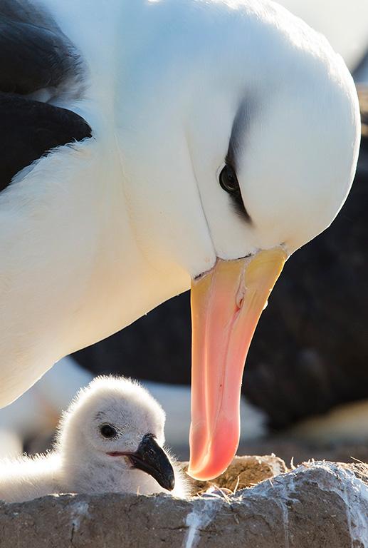 nest van een Wenkbrauw Albatros
