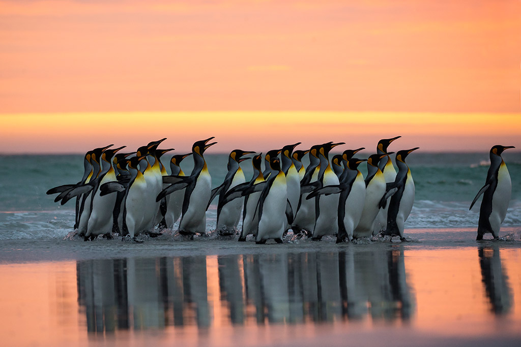 Koningspinguins