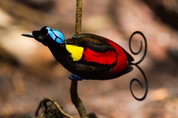 Baltsende Wilson's Bird of Paradise