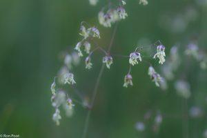 Zoals alle grassen is bevertjes een windbloem, het stuifmeel wordt door de wind verspreid. - Fotograaf: Ron Poot