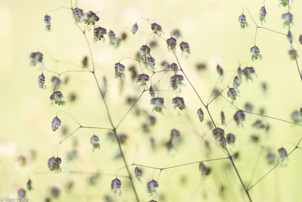 Bevertjes, subtiele schoonheid in het gras